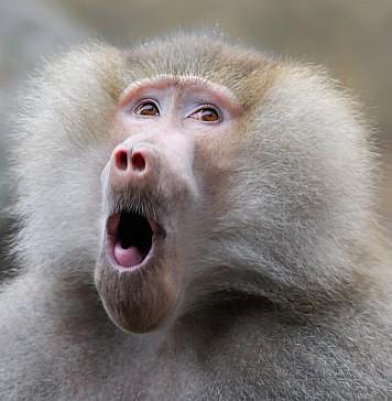 Gay Baboon Attacks South African Village, Rapes 5 Men